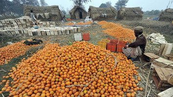 A Pakistani worker sorts kinnow (mandarin oranges) at an orchard in the agricultural town of Bhalwal January 18, 2010. [Aamir Qureshi/AFP]
