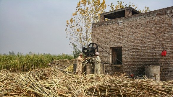 Two farmers crush sugarcane in a traditional mill to extract juice for gur in January in Charsadda District. [Alamgir Khan]