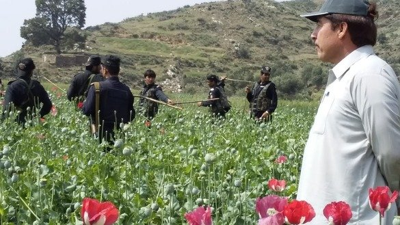 Prang Ghar tehsildar Jamshid Khan supervises the destruction of poppy bulbs April 21. [Alamgir Khan]