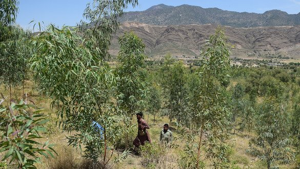 KP forest department guards walk through a tree plantation in Heroshah District May 17. [Farooq Naeem/AFP]