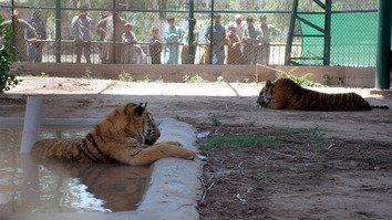 Visitors gather around the enclosure of newly arrived tigers at the Peshawar Zoo June 28. [Adeel Saeed]