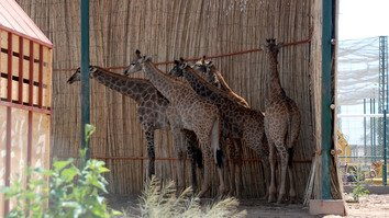 Five giraffes arrived at the Peshawar Zoo June 27. They are being kept in a shed before they go on public display. [Adeel Saeed]