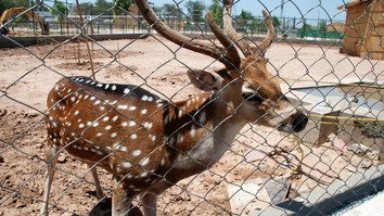 A deer is shown at the Peshawar Zoo June 28. [Adeel Saeed]
