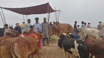 انسدادِ دہشتگردی کے حکام عیدالاضحیٰ کے دوران قربانی کے جانوروں کی کھالوں کی فروخت پر نظر رکھیں گے