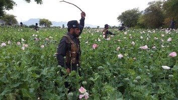 In photos: Mohmand Agency authorities wipe out poppy crops