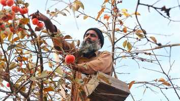 In photos: persimmon orchards flourish once again in Mohmand District