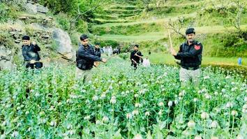 KP police destroy poppy fields in bid to curb illegal drug trade