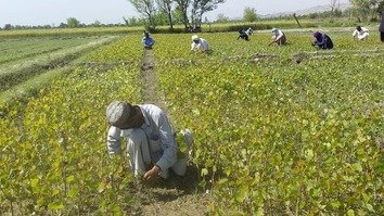Plant4Pakistan to make dent in coronavirus unemployment
